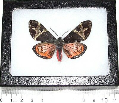 Real Framed Tiger Moth Arctiidae Pink Dysschema Central America