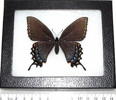 Real Framed Butterfly Papilio Glaucus Black Form Tiger Swallowtail G3