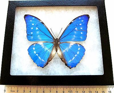 Real Framed Butterfly Blue White Morpho Cypris Smalli Panama Repaired Chip Rare