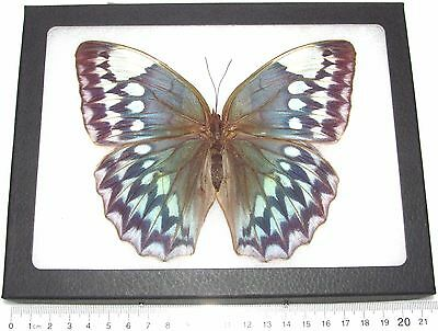 Real Framed Butterfly Blue Stichophthalma Godfreyi Female Rare