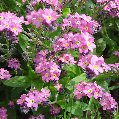 Pink Forget Me Not Seed 50 Seeds Myosotis Alpestris Beautiful Flower Seeds A252