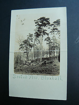 Real Photo RP Postcard - Scotch Firs at Blaxhall - Suffolk