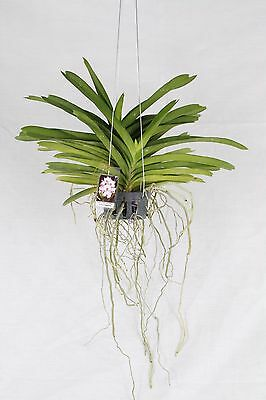 Vanda  Orchidee  Crownfox  Magic  X  Five  Freindship  2  Pflanzen    21.06.-1