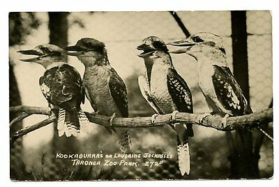 vintage photo postcard Laughing Jackass Kookaburra Taronga Zoo Park CAT CHARITY