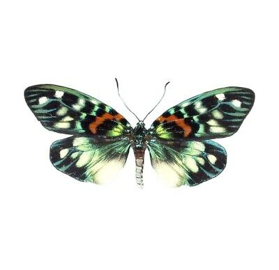 One Real Day Flying Moth Green Blue Erasmia Pulchera Unmounted Wings Closed