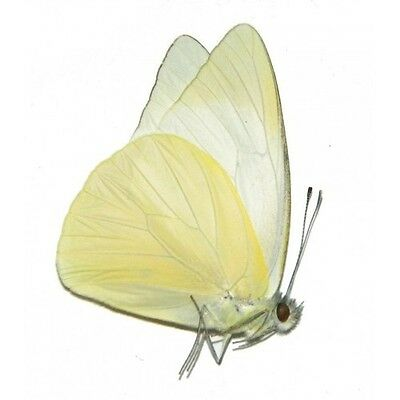 One Real Butterfly White Yellow Appias Indonesia Unmounted Wings Closed
