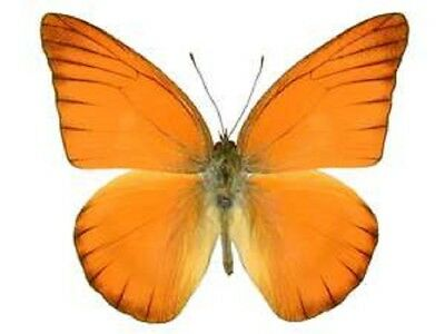 One Real Butterfly Red Orange Albatross Appias Nero Unmounted Wings Closed