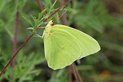 One Real Butterfly Green Yellow Sulphur Phoebis Indonesia Unmounted Wings Closed