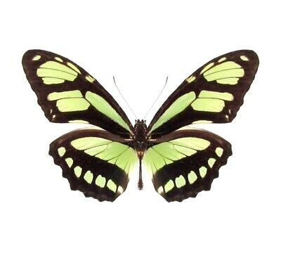 One Real Butterfly Green Philaethria Dido Peru Papered Unmounted Wings Closed