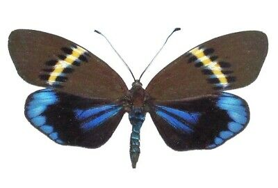 ONE REAL BUTTERFLY BLUE LYROPTERYX APOLLONIA PAPERED UNMOUNTED WINGS CLOSED