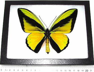 Real Framed Butterfly Green Gold Ornithoptera Goliath Supremus Birdwing Png