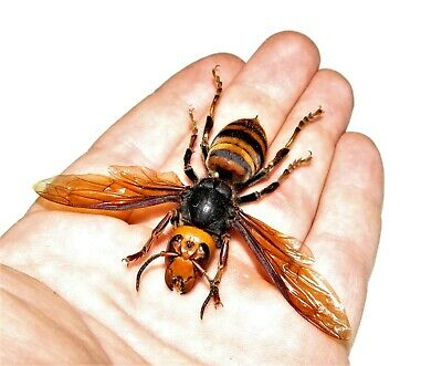 Wings Spread Japanese Vespa Mandarina Japonica Murder Hornet Wasp Mounted Pinned