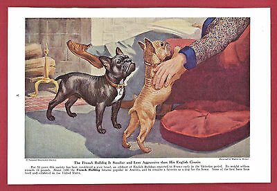 1943 Dog Print Illustration~ FRENCH BULLDOG~English offshoot~Art by Walter Weber