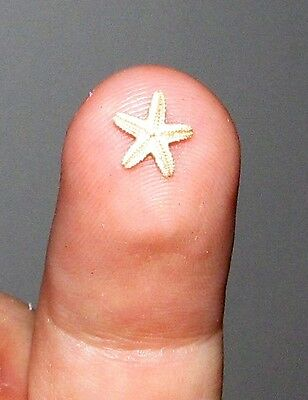Real Tiny Dried Starfish Seastar Preserved