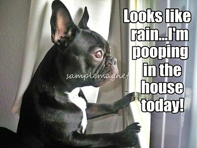 "FRENCH BULLDOG Poop in the House 4"" x 3""  Fridge Magnet"