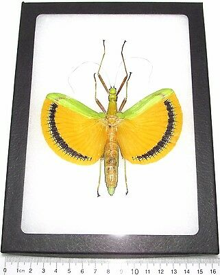 Real Framed Green Yellow Walking Stick Bug Tagesoidea Nigrofasciata Female