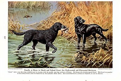 1947 Vintage National Geographic Walter A Weber Curly & Flat Coat Retriever Dog