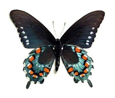 One Real Butterfly Blue Battus Philenor Swallowtail Unmounted Wings Closed