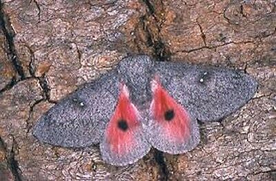 One Real Saturn Moth Pink Sphingicampa Hubbardi Female Unmounted Wings Closed