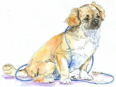 TIBETAN SPANIEL Original Watercolor on Ink Print Matted 11x14 Ready to Frame