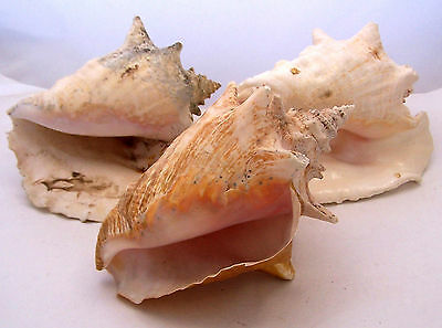 "Lot of 3 Conch Shells PInk and White Seashells 9"" to 10"""