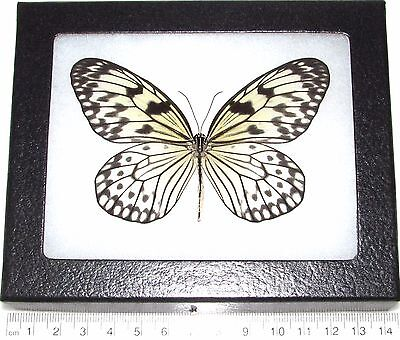 Real Framed Rice Paper Butterfly Black White Idaea Indonesia