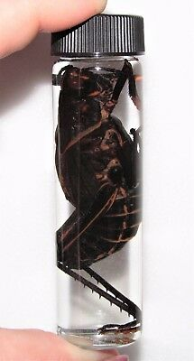 REAL RED EYES GRASSHOPPER PRESERVED WET SPECIMEN TAXIDERMY ENTOMOLOGY 4in VIAL