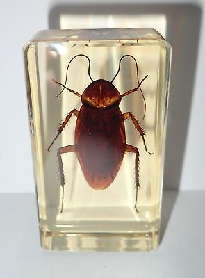 American Cockroach in 73x40x22 mm Amber Clear Block Education Insect Specimen