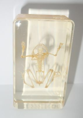 Frog Skeleton East Asian Bullfrog in Amber Clear small Block Education Specimen