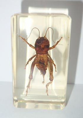 Big Head Cricket in 73x40x22 mm Amber Clear Block Education Insect Specimen