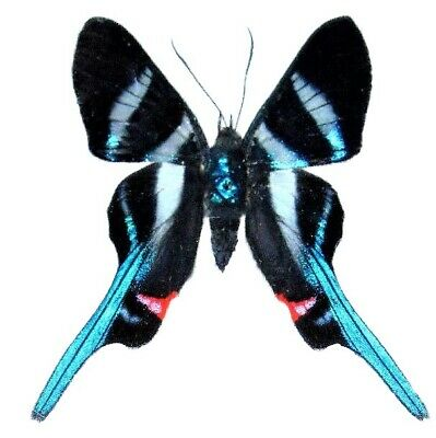 One Real White Blue Peruvian Rhetus Arcius Butterfly Unmounted Wings Closed