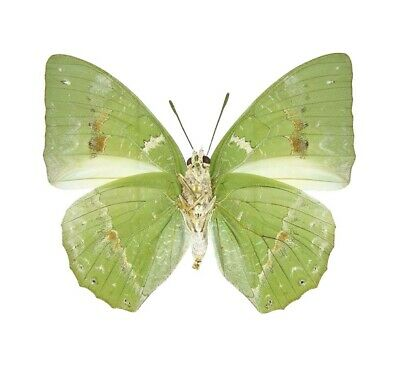 One Real Butterfly Green Charaxes Eupale Verso Africa Unmounted Wings Closed