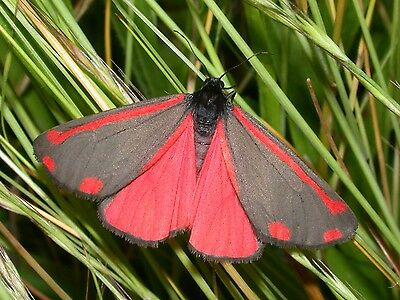 One Real Red Pink Day Flying Moth Tyria Jacobaeae Kazakhstan Wings Closed