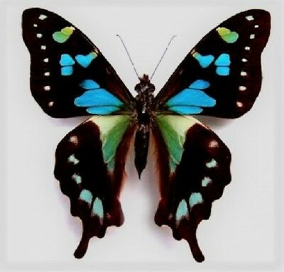 One Real Butterfly Blue Green Graphium Stresemanni Unmounted Wings Closed
