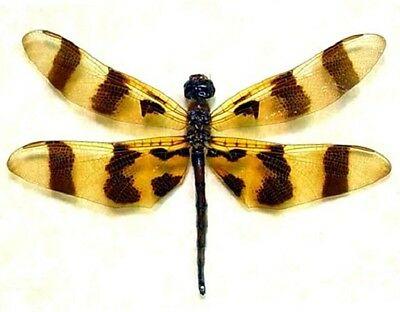 One Dragonfly Damselfly Halloween Pennant Celithemis Unmounted Wings Closed