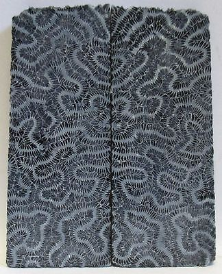 FOSSIL CORAL SCALES  3-1/2 X 1-5/16 to 1-7/16 X 5/32