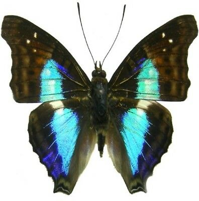 One Real Butterfly Blue Doxocopa Cherubina Peru Unmounted Wings Closed