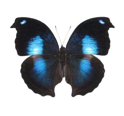 One Real Butterfly Blue Dove Moon Napeocles Jacunda Peru Unmounted Wings Closed