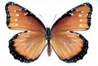 One Real Butterfly Danaus Gilippus Queen Monarch Mimic Unmounted Wings Closed