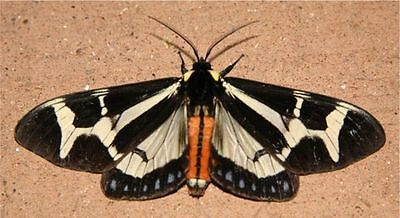 One Real Giant Flag Tiger Moth Dysschema Howardi Arizona Unmounted Wings Closed