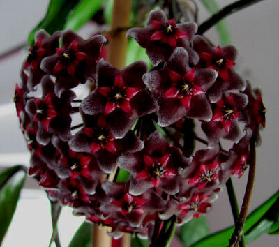 Hoya Wachsblume Porzellanblume Royal Hawaiian Purple Sonderangebot !