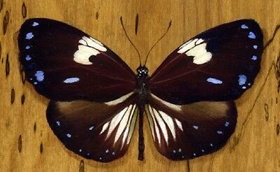 One Real Butterfly Blue Euploea Radamathus Unmounted Wings Closed