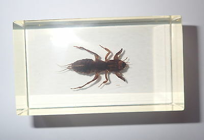 Oriental Mole Cricket in 74x43x25 mm Amber Clear Block Education Insect Specimen