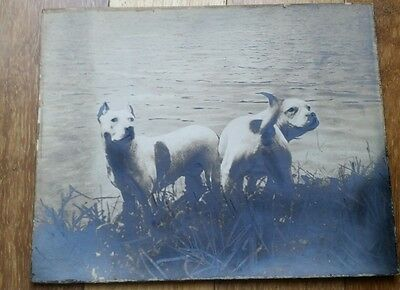 """Antique dog photo photograph of pit bull terrier 8 x 10"""" 1920"""
