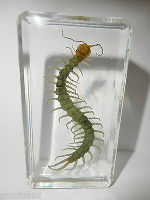 Red headed Centipede Scolopendra subspinipes 73x40x18 mm Block Teaching Specimen