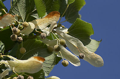 10 Small-leaved Lime / Tilia Cordata, 2-3ft Tall  With a Rich Scent