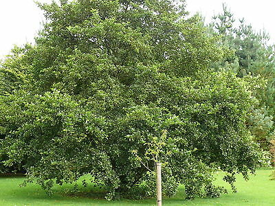 10 Common Alder Hedging,Alnus Glutinosa 3-4ft Trees,Great For Wildlife & Shade