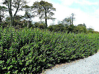 100 Green Privet Plants 2-3ft,Evergreen Hedging 60-90cm,Grow a Quick,Dense Hedge