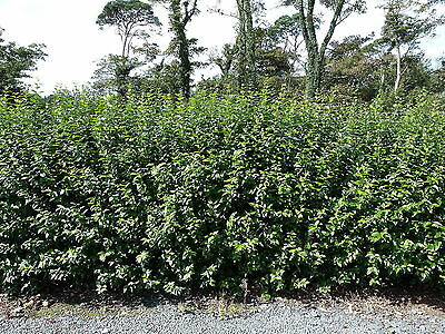 25 Green Privet Plants 3ft Tall, Evergreen Hedging, Grow a Quick, Dense Hedge