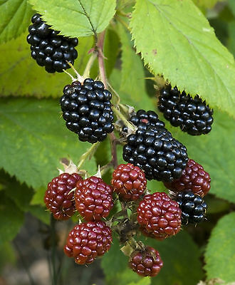 3 Thornless Blackberry 'Evergreen' Plants / Rubus Fruticosus Big Juicy Berries